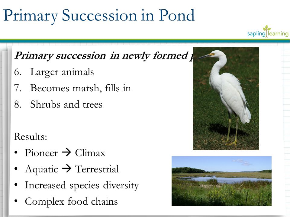 primary succession species diversity of For instance, primary succession is succession that begins in an area where the soil has not yet formed examples of events that precede primary succession would be the formation of a new island.