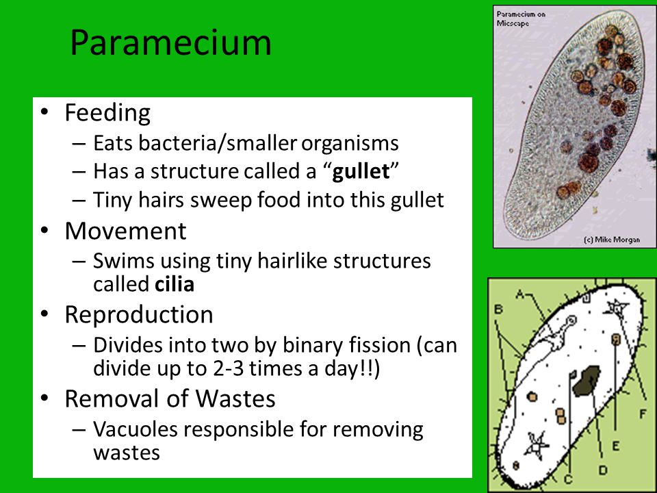 Paramecium Feeding Movement Reproduction Removal of Wastes