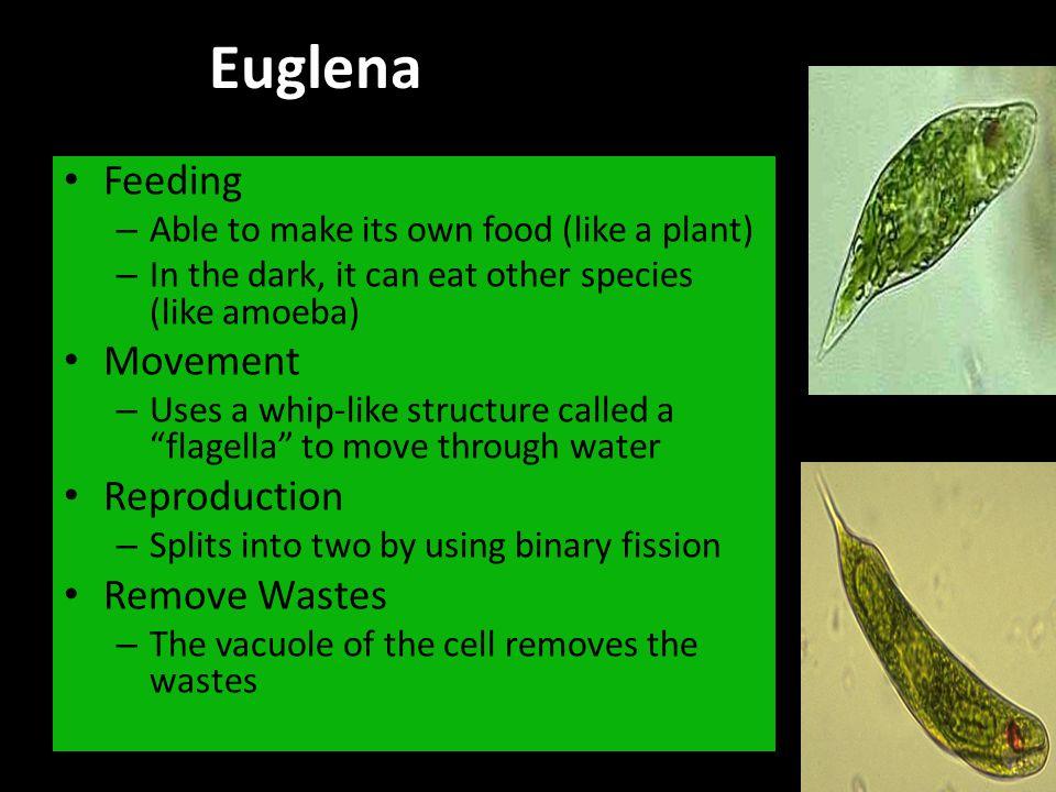 Euglena Feeding Movement Reproduction Remove Wastes