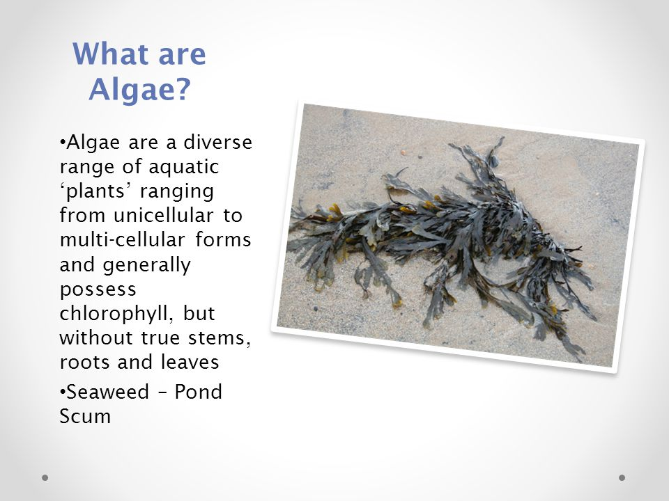 What are Algae