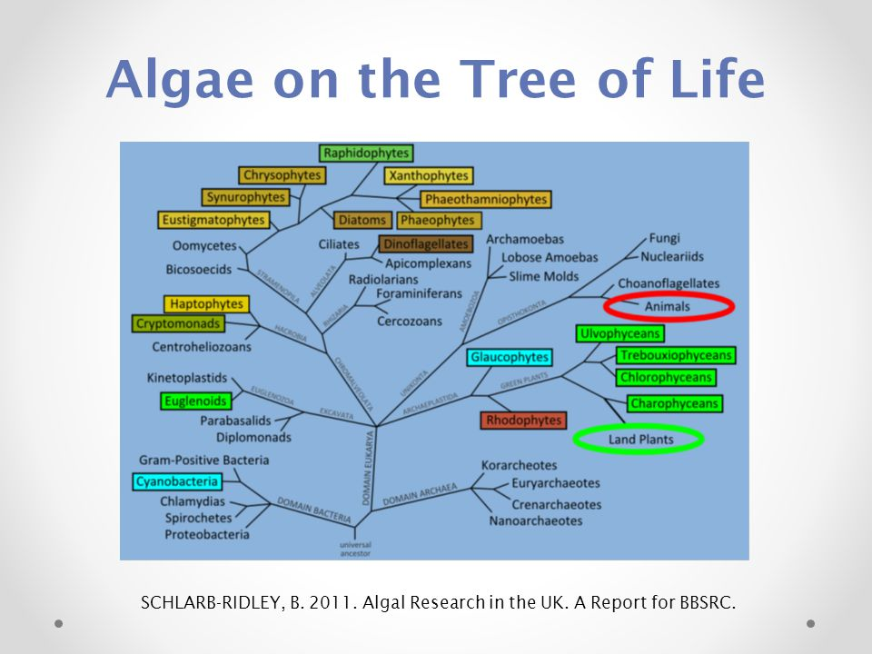 Algae on the Tree of Life
