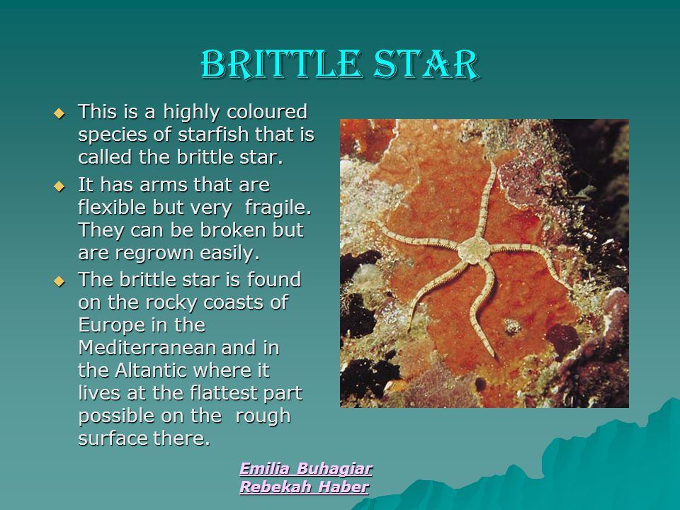Brittle Star This is a highly coloured species of starfish that is called the brittle star.