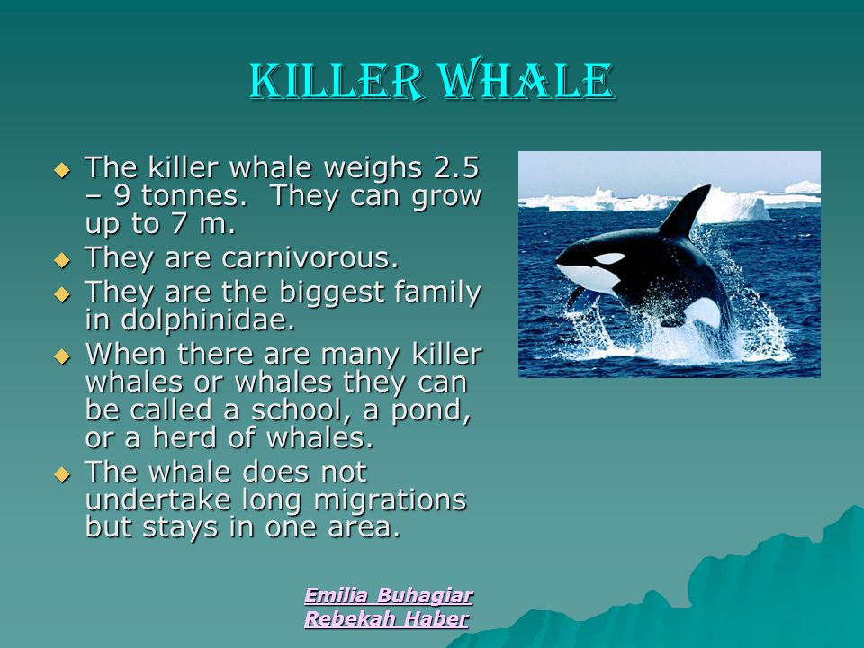 Killer Whale The killer whale weighs 2.5 – 9 tonnes. They can grow up to 7 m. They are carnivorous.