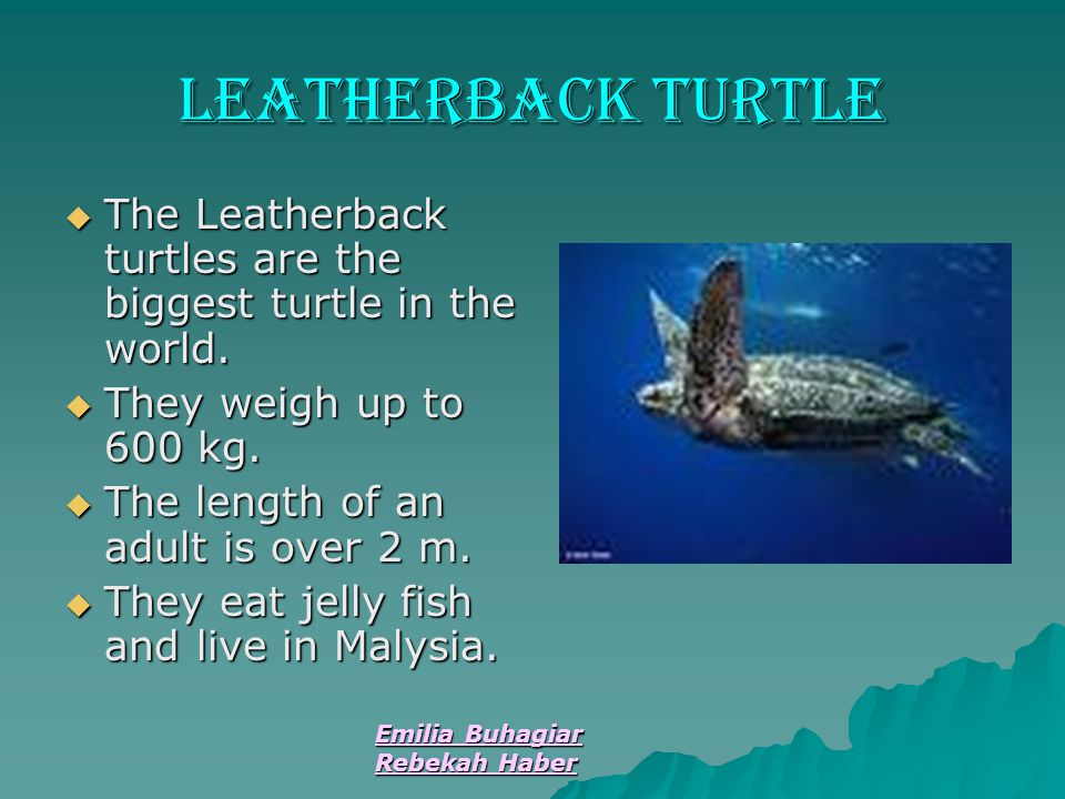 Leatherback turtle The Leatherback turtles are the biggest turtle in the world. They weigh up to 600 kg.