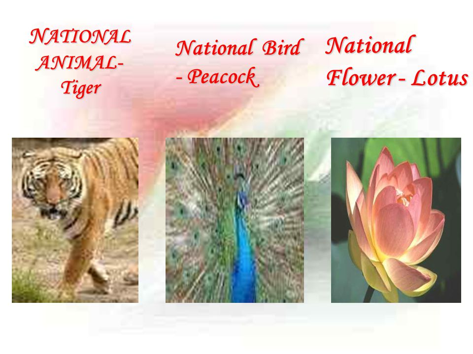 NATIONAL ANIMAL-Tiger