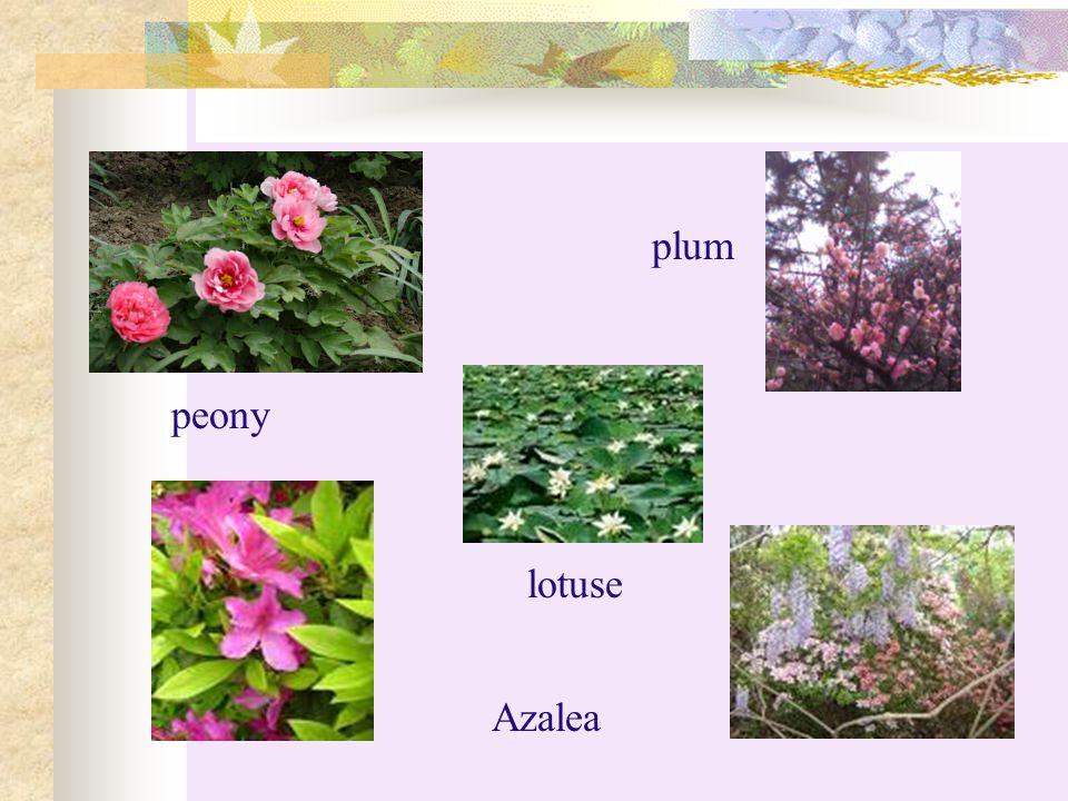plum peony Azalea |з'zeljз| 杜鹃 lotuse Azalea