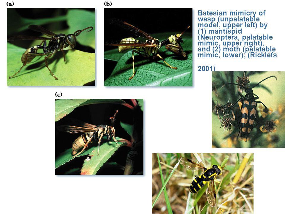 Batesian mimicry of wasp (unpalatable model, upper left) by (1) mantispid (Neuroptera, palatable mimic, upper right), and (2) moth (palatable mimic, lower); (Ricklefs 2001)
