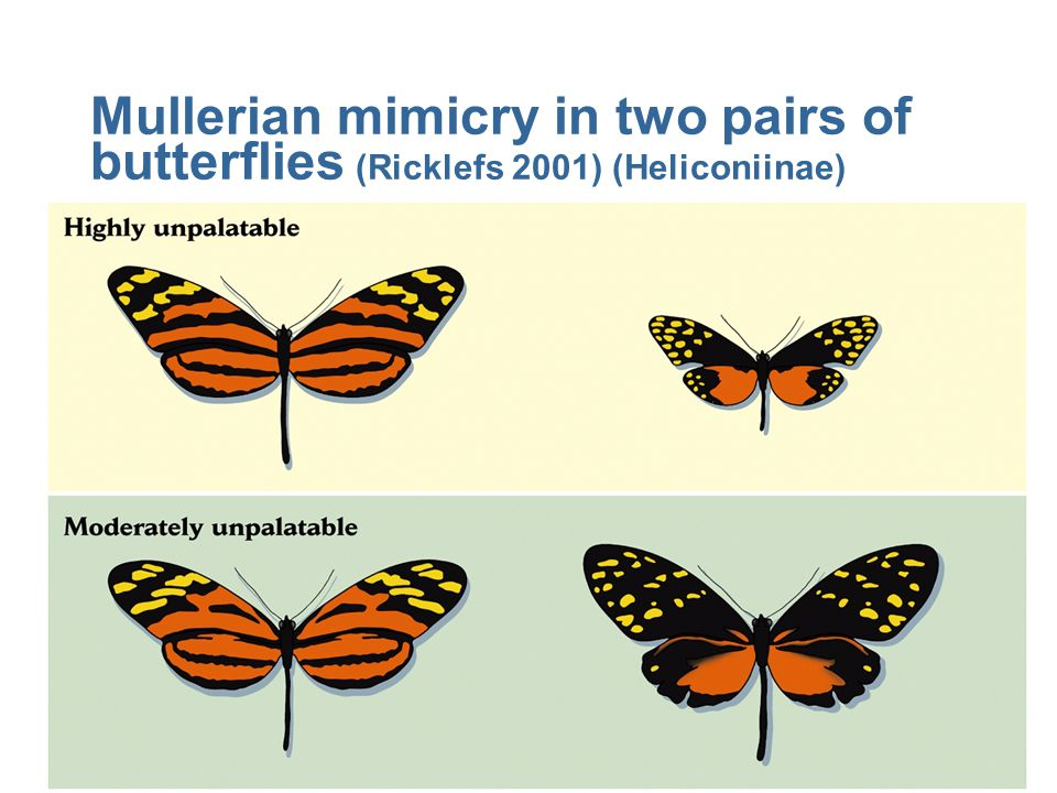 Mullerian mimicry in two pairs of butterflies (Ricklefs 2001) (Heliconiinae)