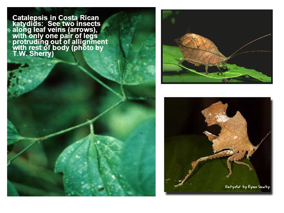 Catalepsis in Costa Rican katydids: See two insects along leaf veins (arrows), with only one pair of legs protruding out of allignment with rest of body (photo by T.W.