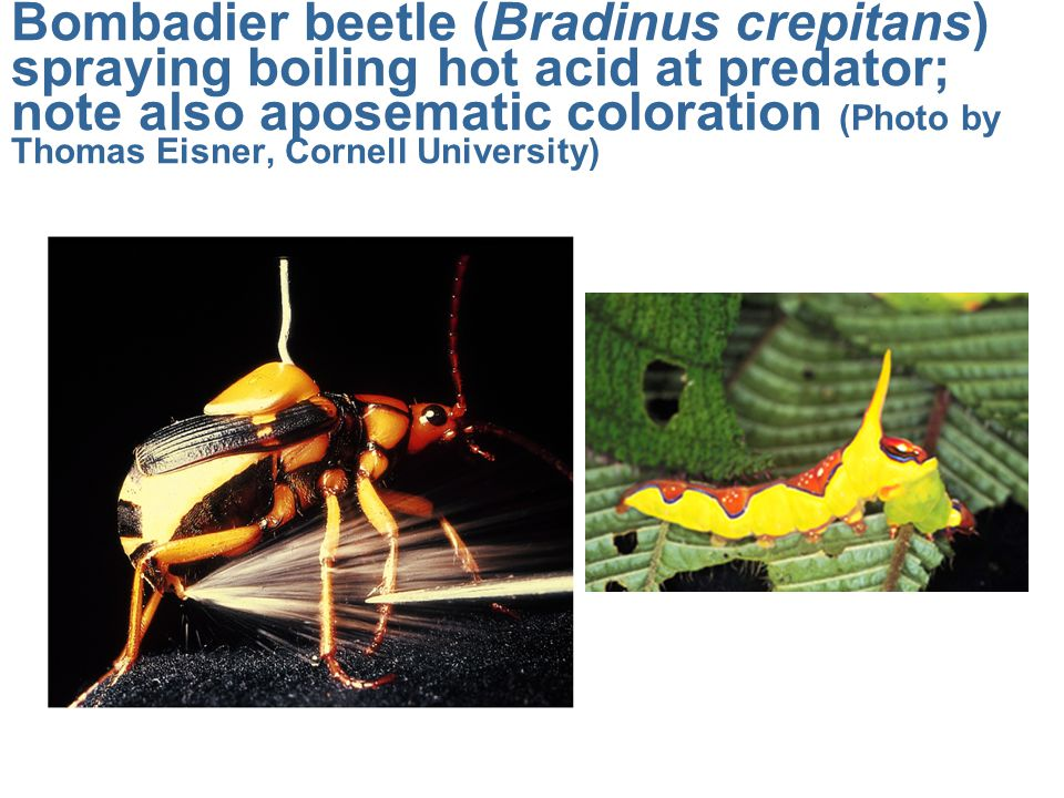 Bombadier beetle (Bradinus crepitans) spraying boiling hot acid at predator; note also aposematic coloration (Photo by Thomas Eisner, Cornell University)
