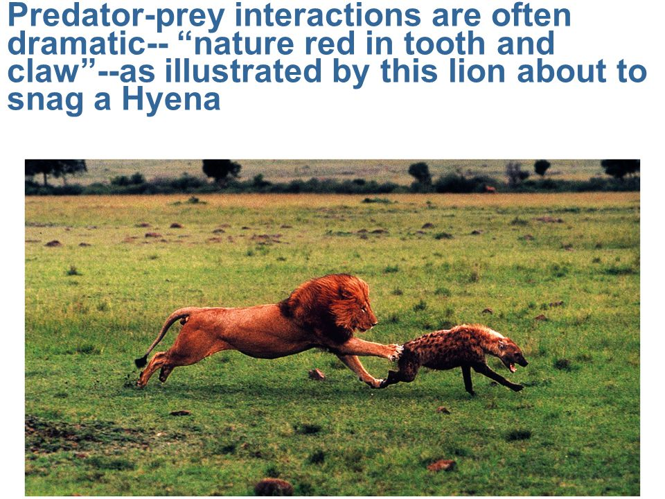 Predator-prey interactions are often dramatic-- nature red in tooth and claw --as illustrated by this lion about to snag a Hyena