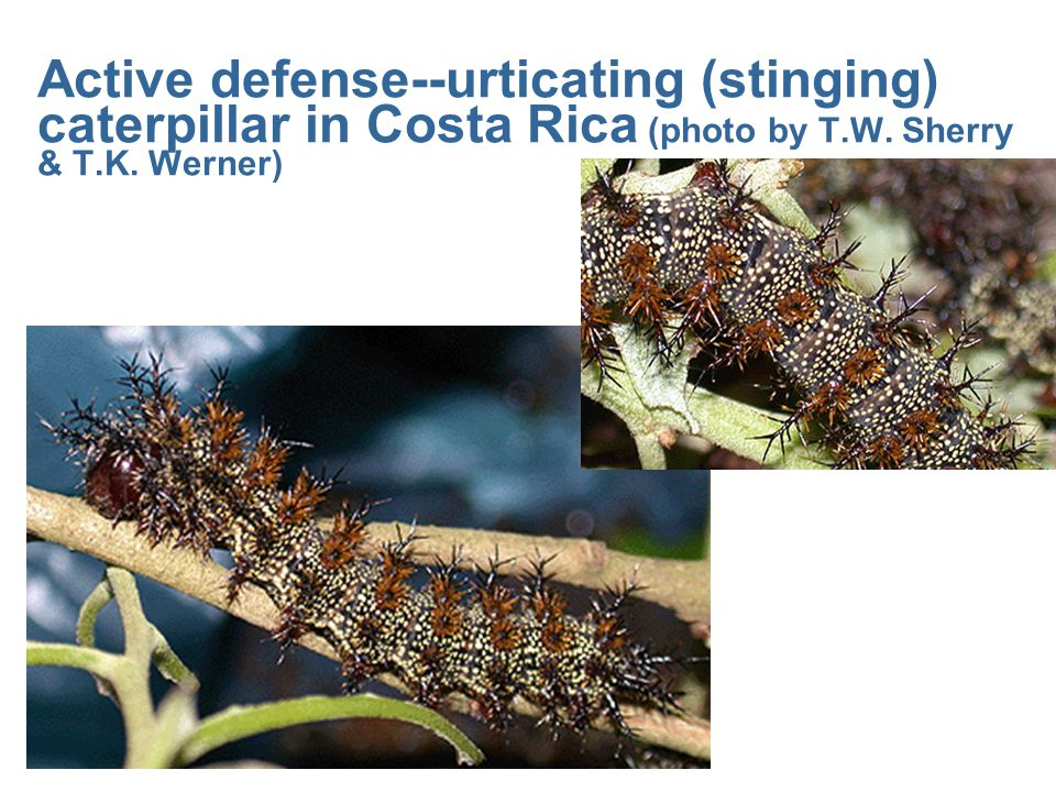 Active defense--urticating (stinging) caterpillar in Costa Rica (photo by T.W. Sherry & T.K. Werner)