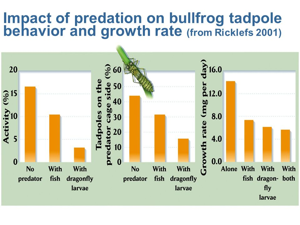 Impact of predation on bullfrog tadpole behavior and growth rate (from Ricklefs 2001)