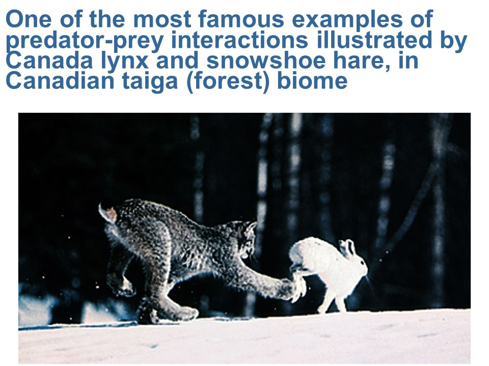 One of the most famous examples of predator-prey interactions illustrated by Canada lynx and snowshoe hare, in Canadian taiga (forest) biome