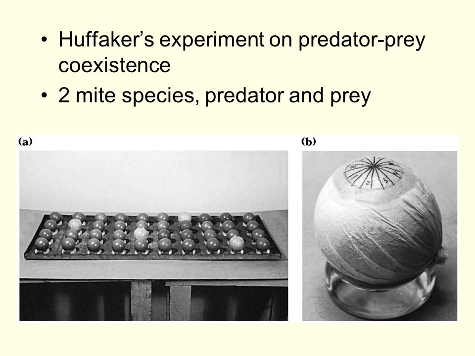 Huffaker's experiment on predator-prey coexistence