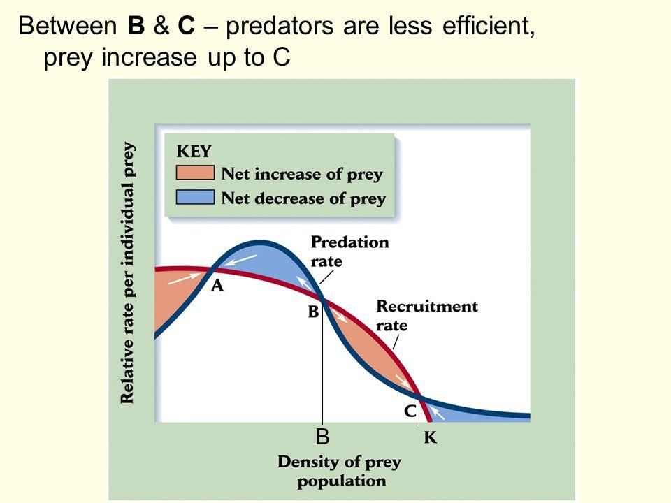 Between B & C – predators are less efficient, prey increase up to C