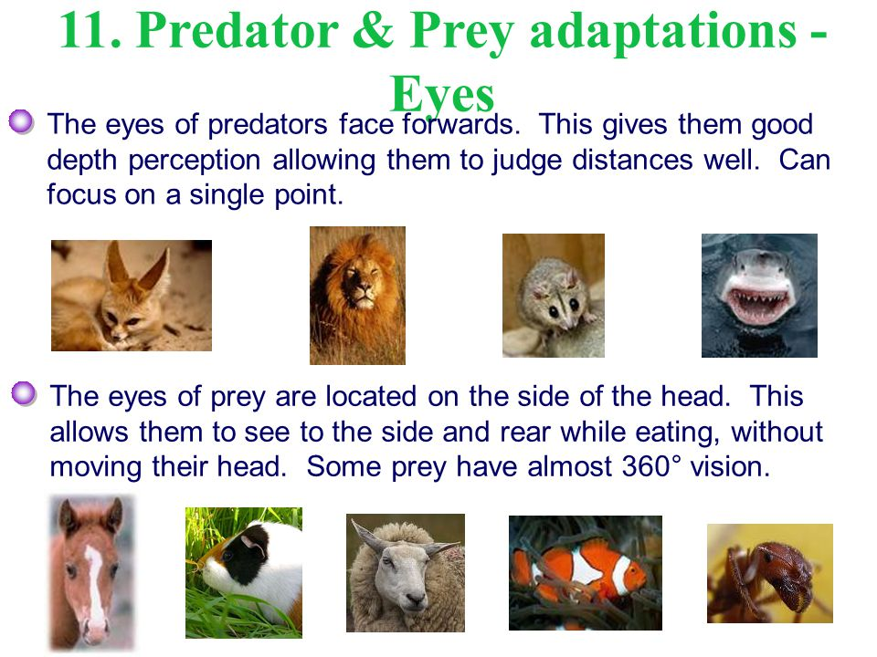 11. Predator & Prey adaptations -Eyes