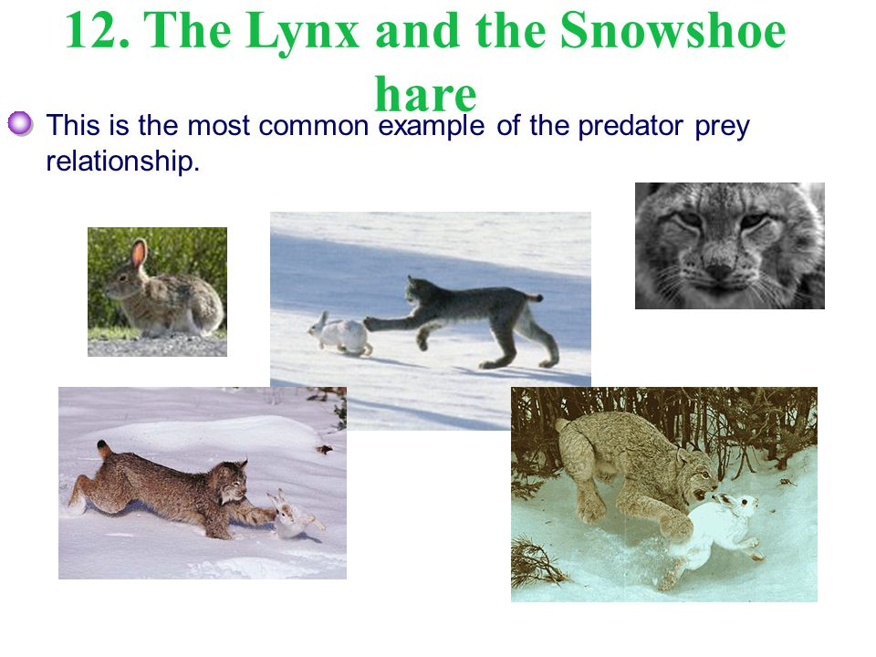 12. The Lynx and the Snowshoe hare