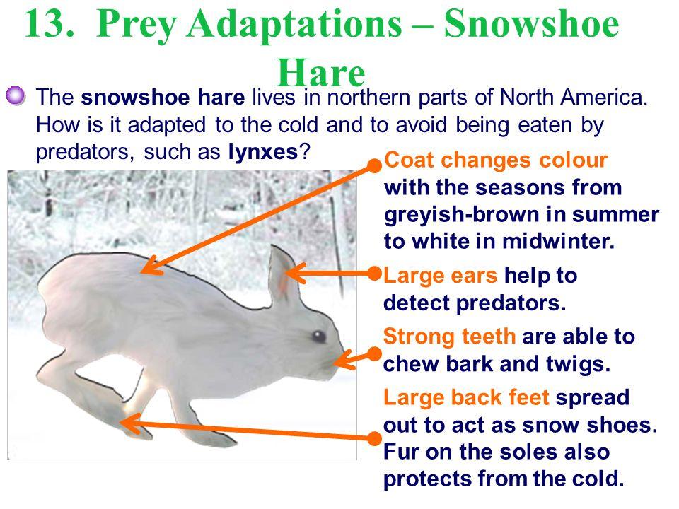 13. Prey Adaptations – Snowshoe Hare