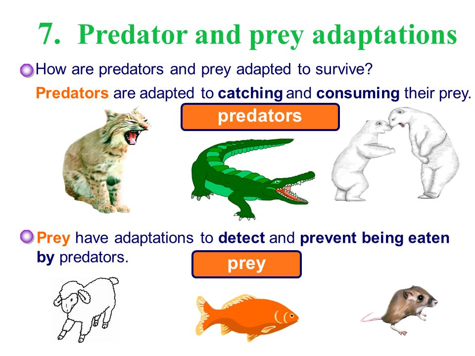 predator prey relationship adaptations of dolphins