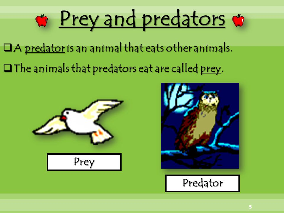 Prey and predators A predator is an animal that eats other animals.