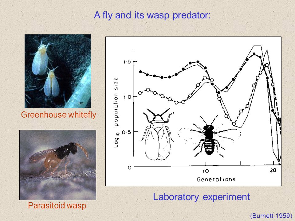 A fly and its wasp predator: