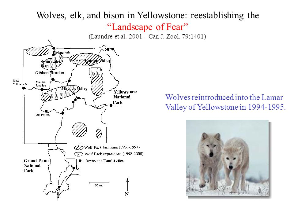 Wolves, elk, and bison in Yellowstone: reestablishing the