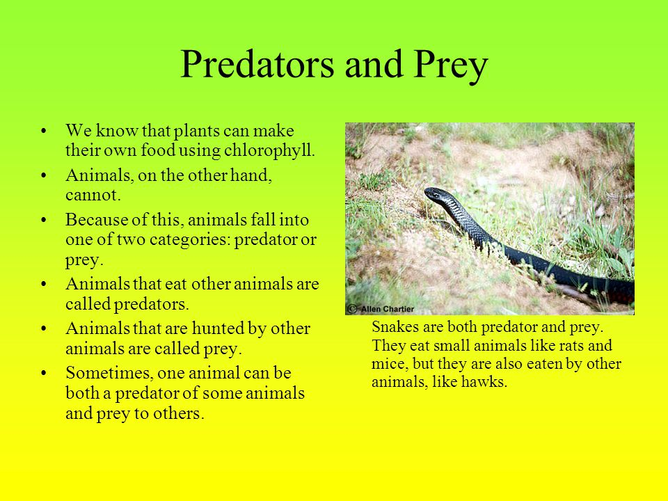 Predators and Prey We know that plants can make their own food using chlorophyll. Animals, on the other hand, cannot.
