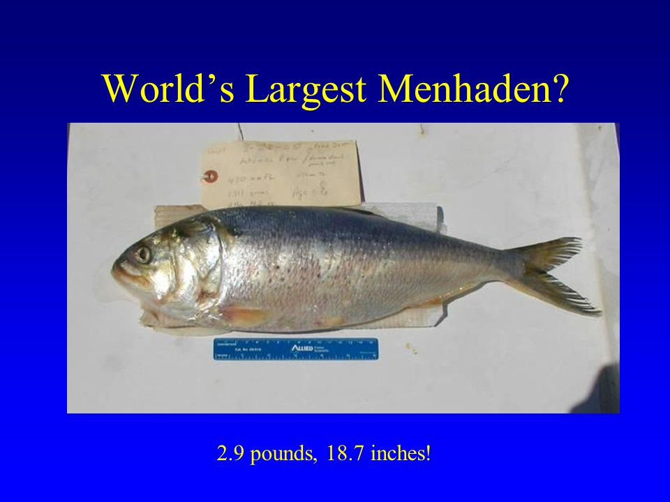 World's Largest Menhaden