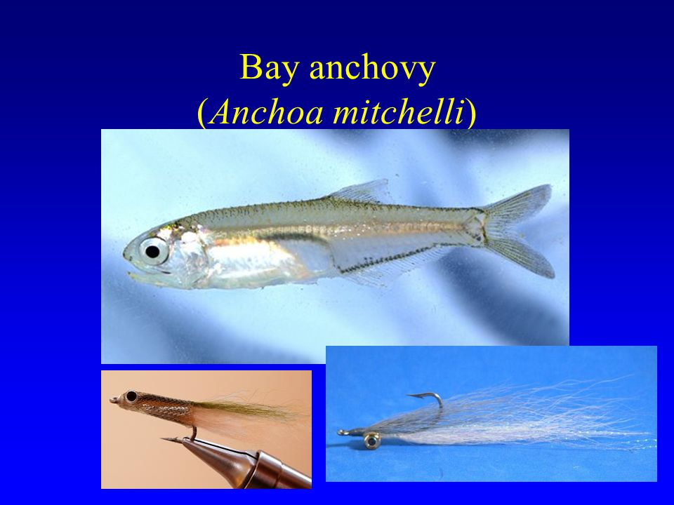 Bay anchovy (Anchoa mitchelli)