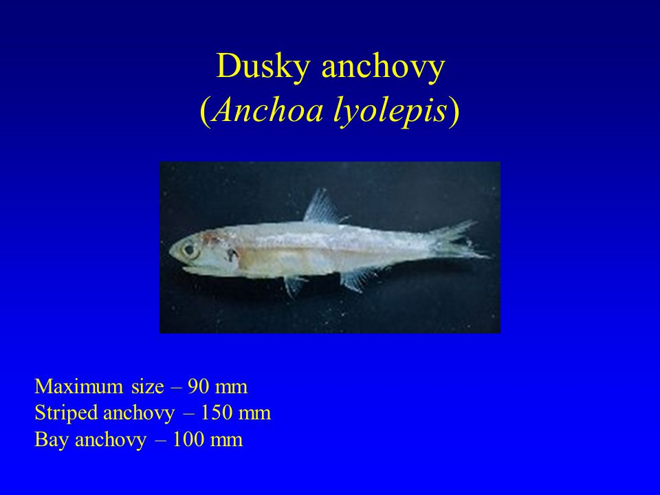 Dusky anchovy (Anchoa lyolepis)