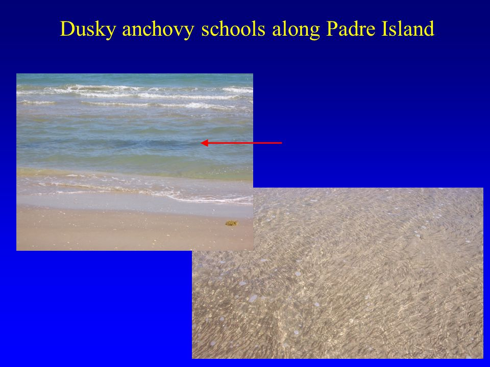 Dusky anchovy schools along Padre Island