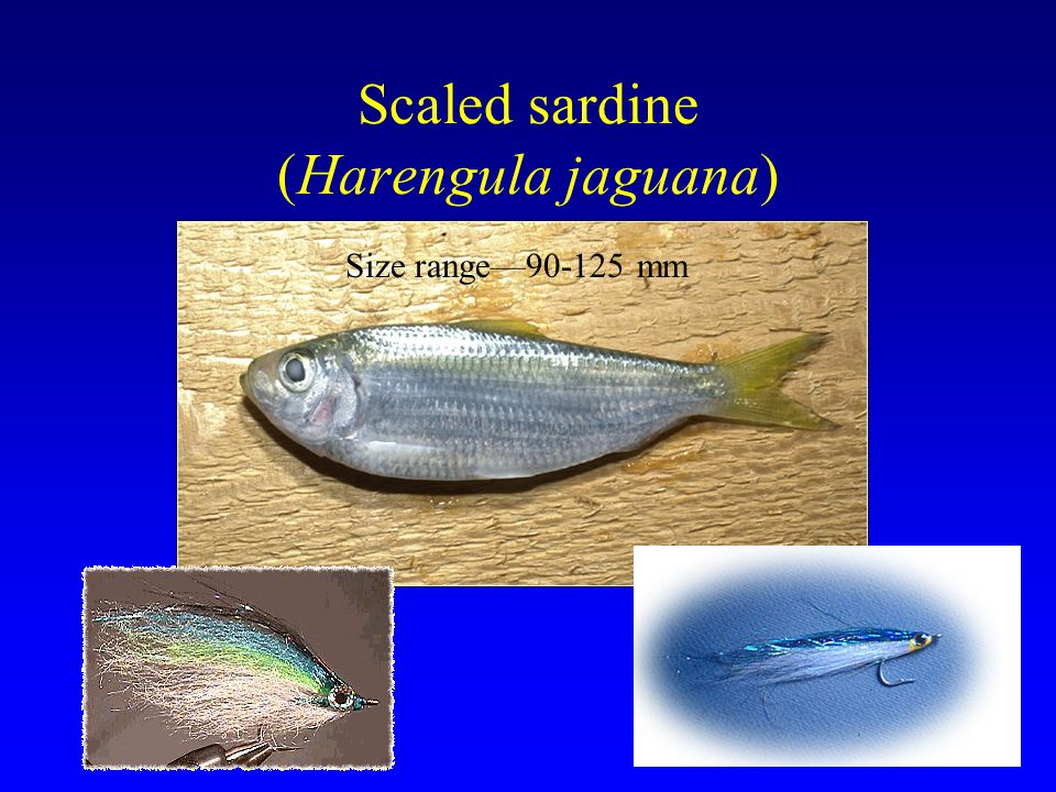 Scaled sardine (Harengula jaguana)