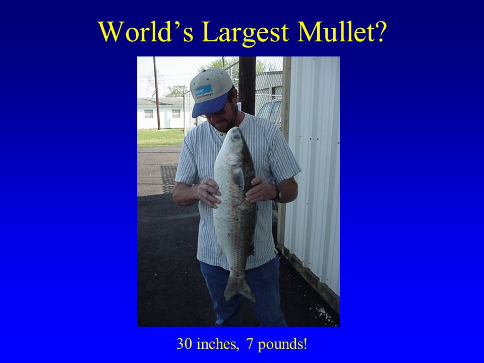 World's Largest Mullet
