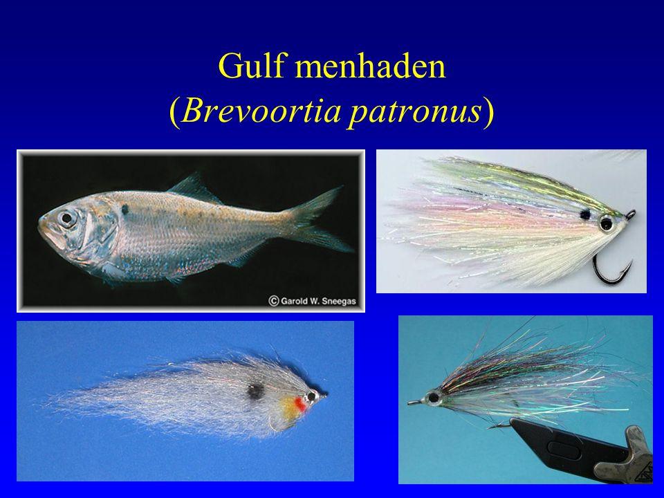 Gulf menhaden (Brevoortia patronus)