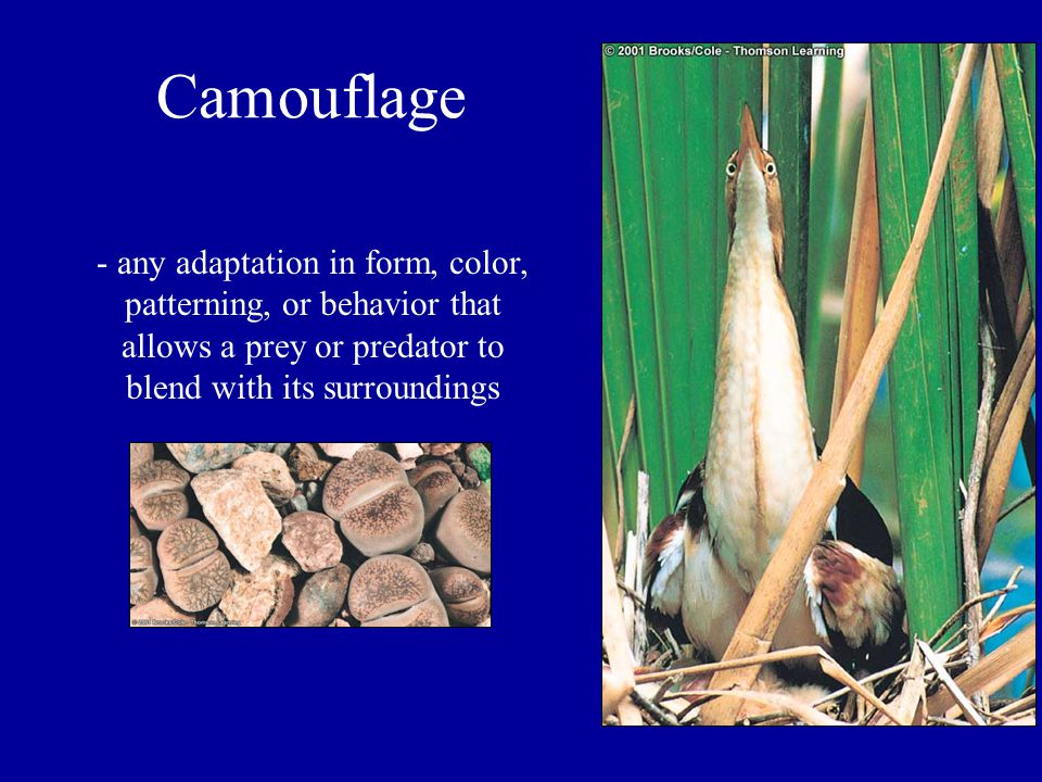 Camouflage - any adaptation in form, color, patterning, or behavior that allows a prey or predator to blend with its surroundings.