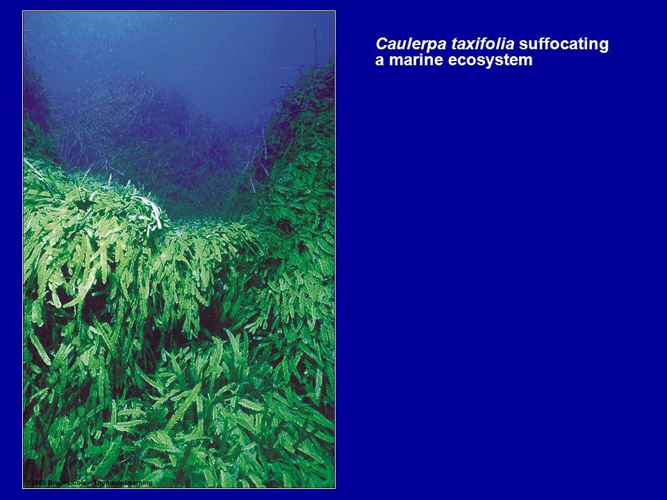 Caulerpa taxifolia suffocating