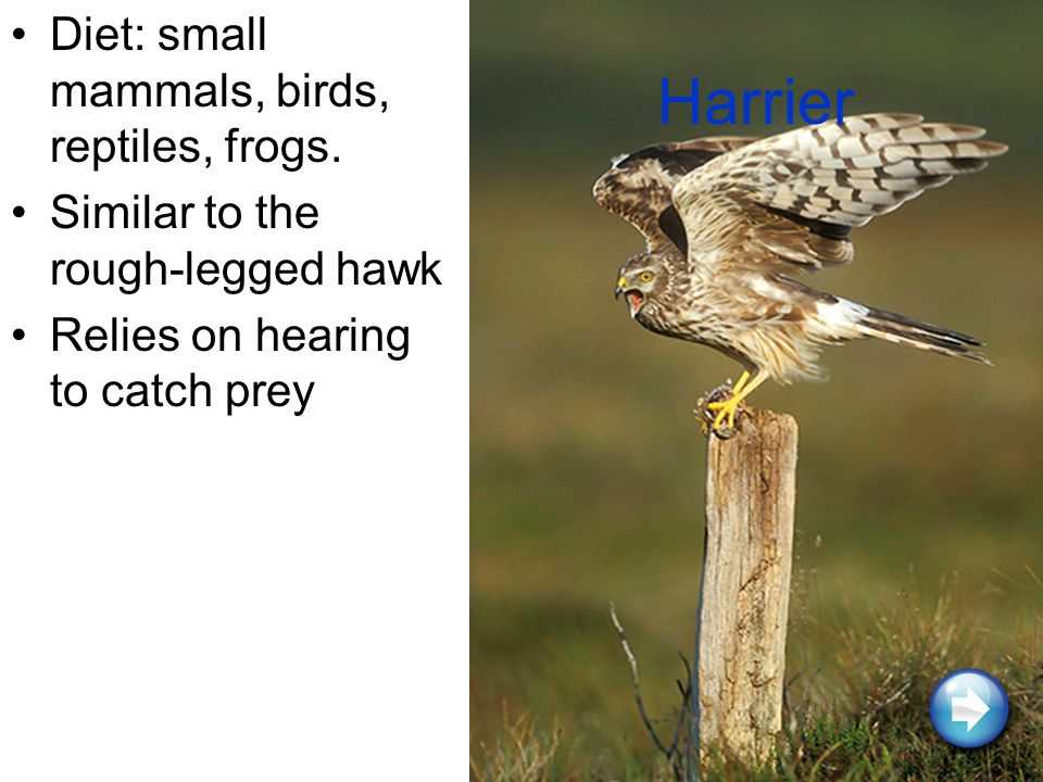 Harrier Diet: small mammals, birds, reptiles, frogs.