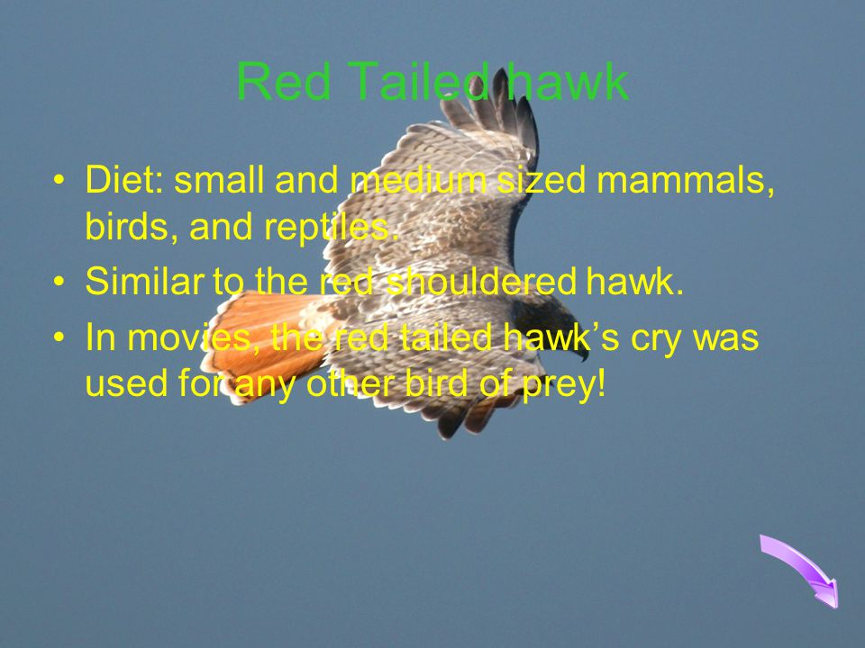 Red Tailed hawk Diet: small and medium sized mammals, birds, and reptiles. Similar to the red shouldered hawk.