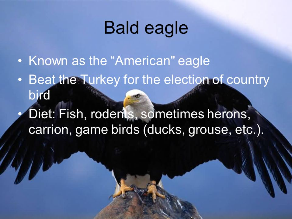 Bald eagle Known as the American eagle