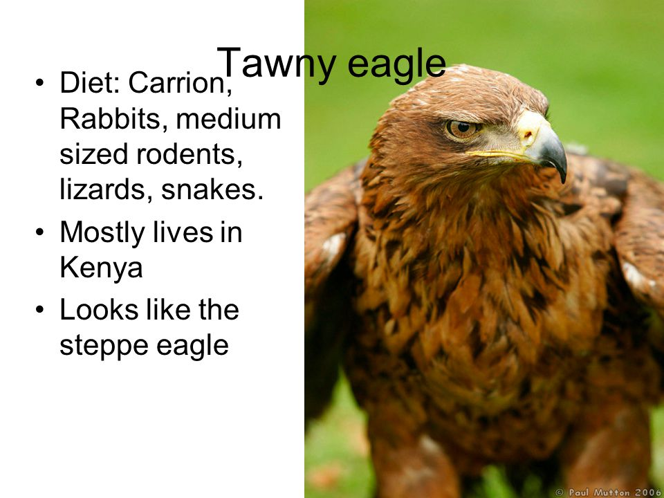 Tawny eagle Diet: Carrion, Rabbits, medium sized rodents, lizards, snakes.