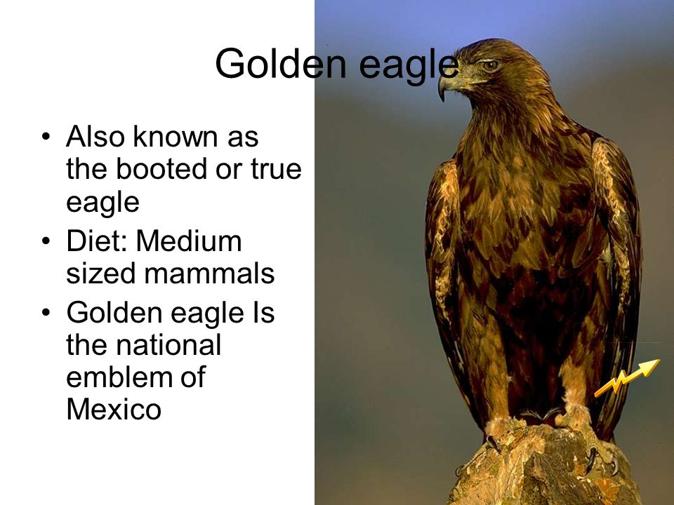 Golden eagle Also known as the booted or true eagle