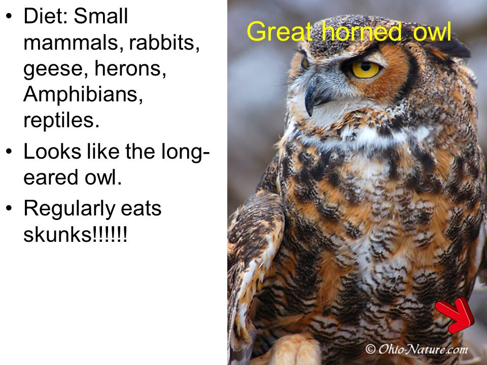 Great horned owl Diet: Small mammals, rabbits, geese, herons, Amphibians, reptiles. Looks like the long-eared owl.