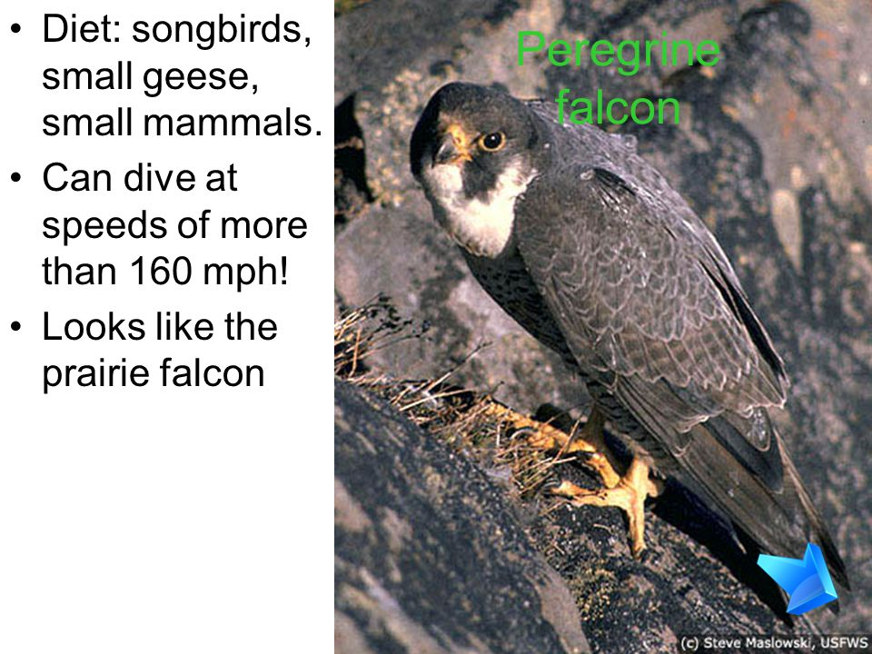 Peregrine falcon Diet: songbirds, small geese, small mammals.