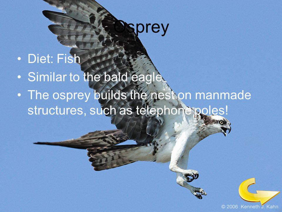 Osprey Diet: Fish Similar to the bald eagle