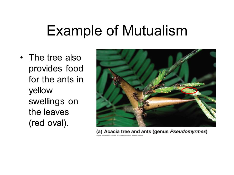 Example of Mutualism The tree also provides food for the ants in yellow swellings on the leaves (red oval).
