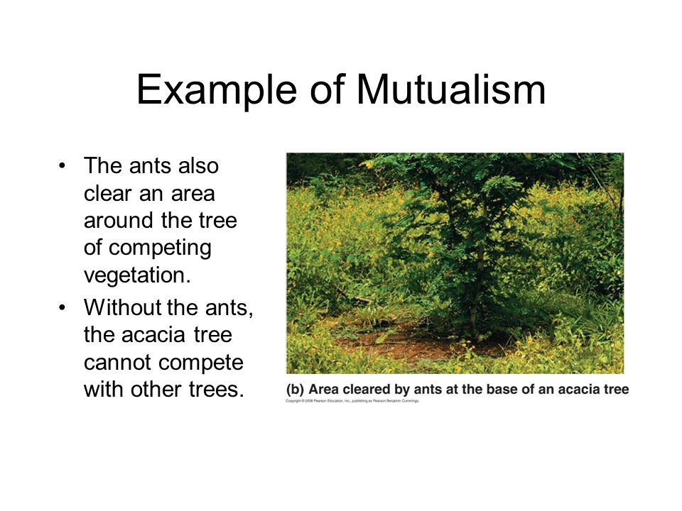 Example of Mutualism The ants also clear an area around the tree of competing vegetation.