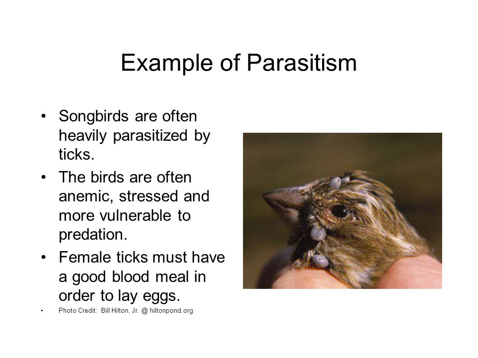 Example of Parasitism Songbirds are often heavily parasitized by ticks. The birds are often anemic, stressed and more vulnerable to predation.
