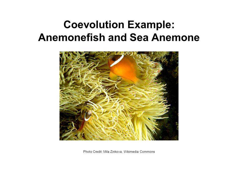 Coevolution Example: Anemonefish and Sea Anemone