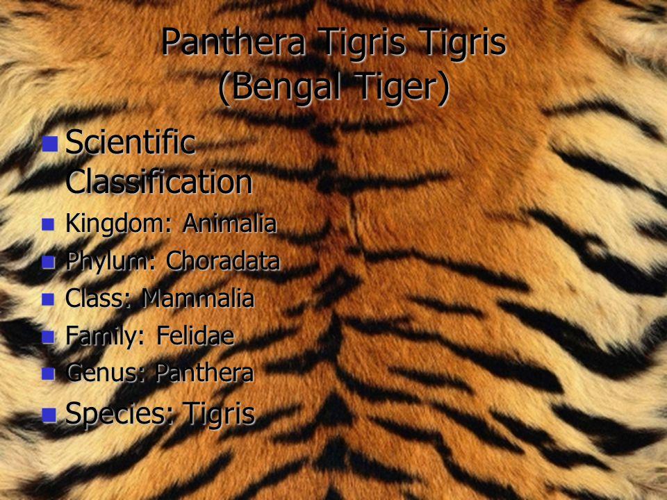 Panthera Tigris Tigris (Bengal Tiger)